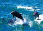 海豚杰尔巴